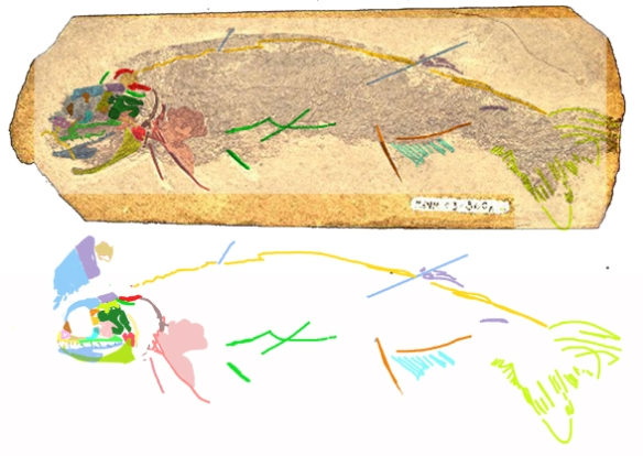 Figure 4. Homalacanthus in situ and reconstructed.