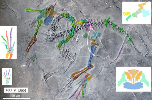 Figure 7. The IVPP V15001 specimen of Macrocnemus fuyuanensis in situ. Colors and reconstructions added. Some disagreement here with the pectoral elements.