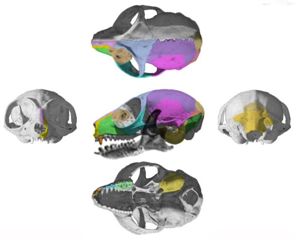 Figure 2. The skull of Microcebus murinus from Digimorph.org and used with permission. Here colors mark bones.