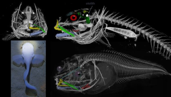 Figure 1. Pseudoliparis in vivo and in µCt scans. Note the reduction of skull bones. Compare to Liparis in figure 2.