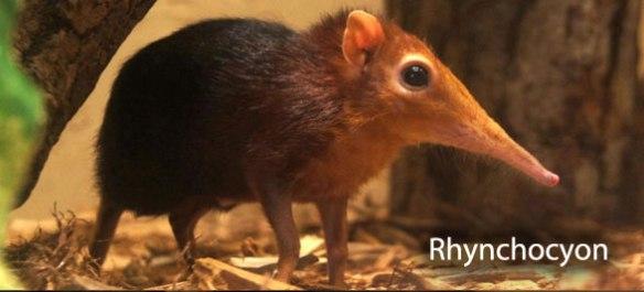 Figure 7. Rhynchocyon, a living elephant shrew, is a living leptictid.