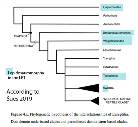 Figure x. The 'Eureptilia' according to Sues 2019. This is a paraphyletic clade when more taxa are included, as in the LRT.