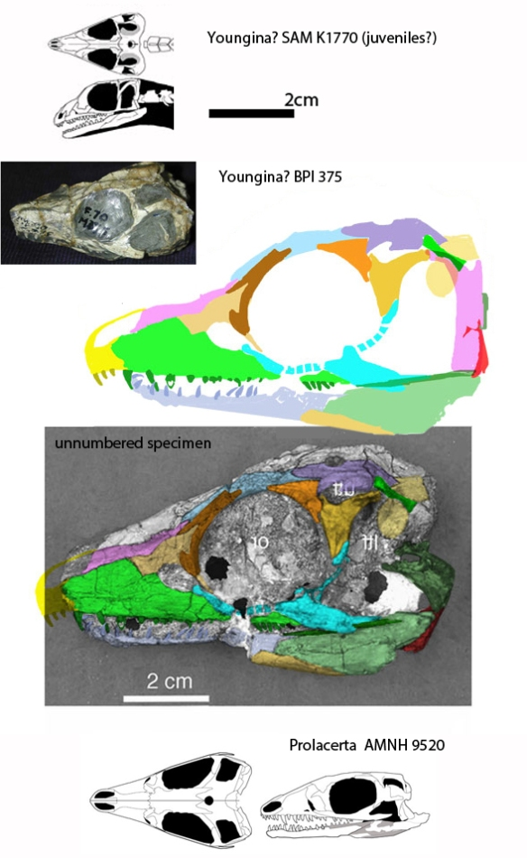 Figure 1. Unidentified specimen attributed by Sues 2019 to Youngina capensis. Here it nests with the much smaller BPI 375 specimen basal to protosaurs.