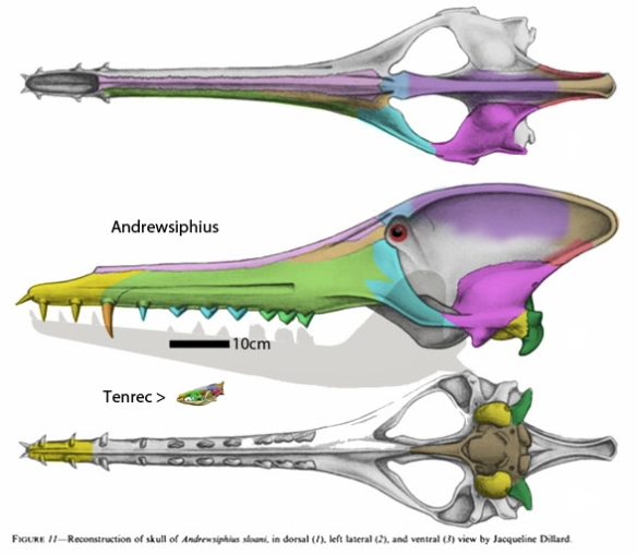 Figure 1. The reconstructed and restored skull of Andrewsiphius from Theiwissen 2009 and colorized using DGS methods here. Tenrec skull is to scale.