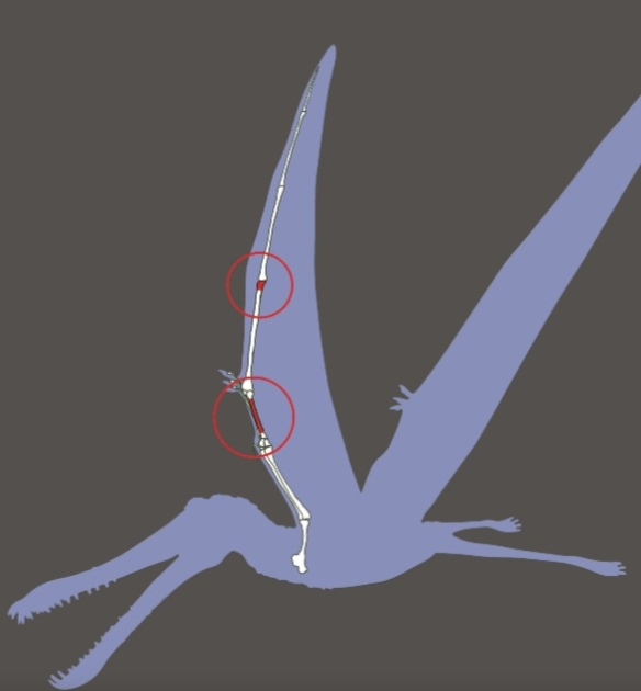 Figure 6. Antarctic pterosaur bones from Kellner et al. 2019. The elements appear to be too gracile to fit the hypothetical outline provided.