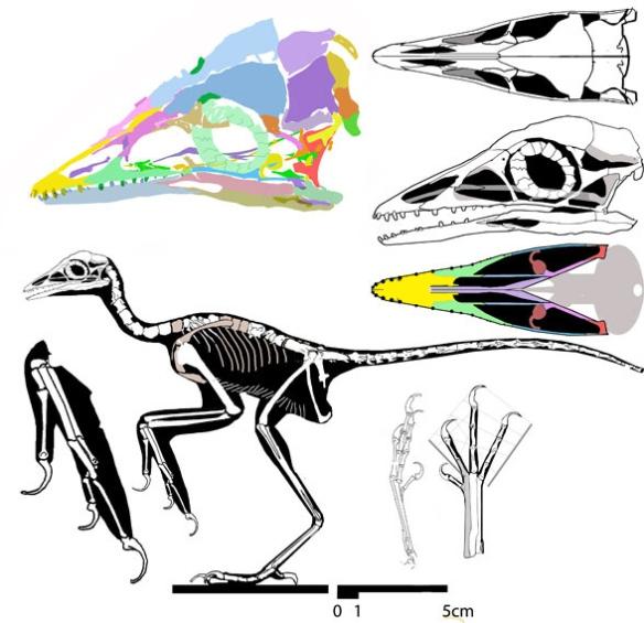 Figure 3. The Eichstätt specimen, Jurapteryx recurva, nests with the living ostrich, Struthio, presently in the LRT.