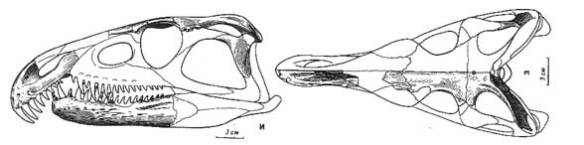 Figure 2. Archosaurus is not in the LRT, but shares several traits with Polymorphodon.