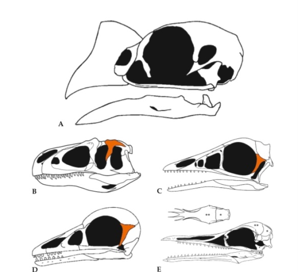 Figure 1. Theropod and bird skulls from Foth and Rauhut 2020. Postorbital is highlighted in orange, but not the same vestigial postorbital is not highlighted in bird skulls.
