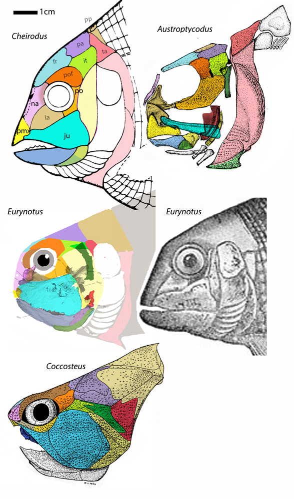 Figure 1. Eurynotus crenatus nests between Cheirodus and basal placoderms like Coccosteus and Autroptycodus in the LRT. Friedman et al. provided the jugal and mandible of Eurynotus, somewhat distinct from the Watson 1928? engraving at right. Note how the large jugal of Eurynotus splits to form a posterior squamosal.