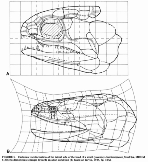 Figure 2. Juvenile and adult Eusthenopteron compared from Schultze 1984. The cranium of the juvenile appears convex here, but was likely flatter.