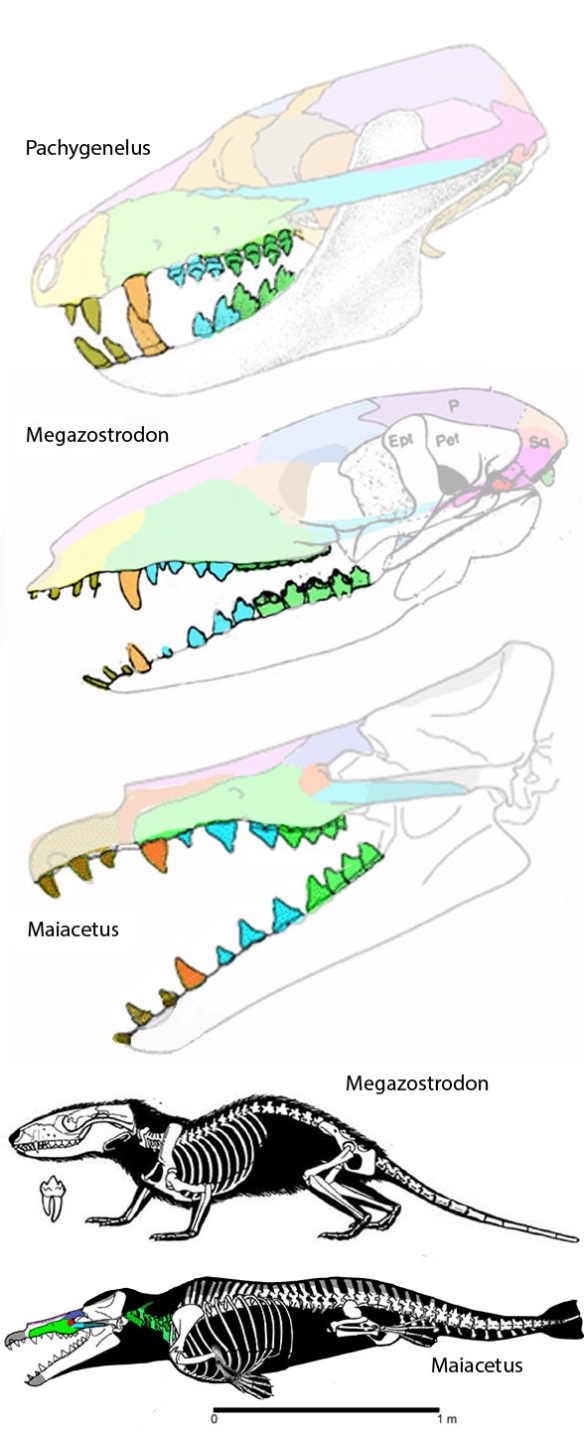 Figure 1. The pre-mammal, Pachygenelus, the first mammal, Megazostrodon, and a transitional toothed whale, Maiacetus, with teeth highlighted to show the reversal in odontocete molars.