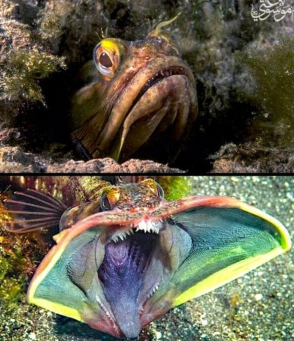Figure 1. The sarcastic fringehead becomes bizarre when opening its mouth in a threat gesture.