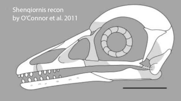 Figure 2. O'Connor et al. reconstructed the skull of Sheqiornis freehand.