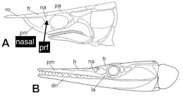 Figure 2. Skull of Tanyrhinichthys (above) with two bones relabeled. The other fish, Saurichthys, is clearly unrelated.