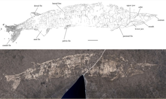 Figure 1. Tanyrhinichthys in situ and traced.