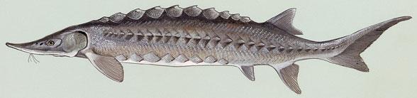 Figure 1. Acipenser, a sturgeon.