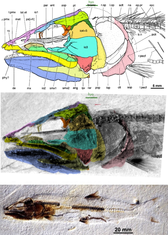 Figure 1. Bavarichthys is a big head/ short body anchovy from the Late Jurassic. Now it is ancestral to European eels.