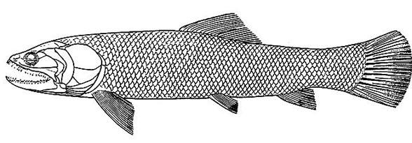Figure 2. Another specimen diagram of Calamopleurus.