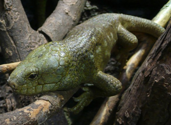 Figure 1. The Solomon Islands skink (Corucia zebrata) is the largest skink on the planet, gives birth with a placenta and lives in communities.
