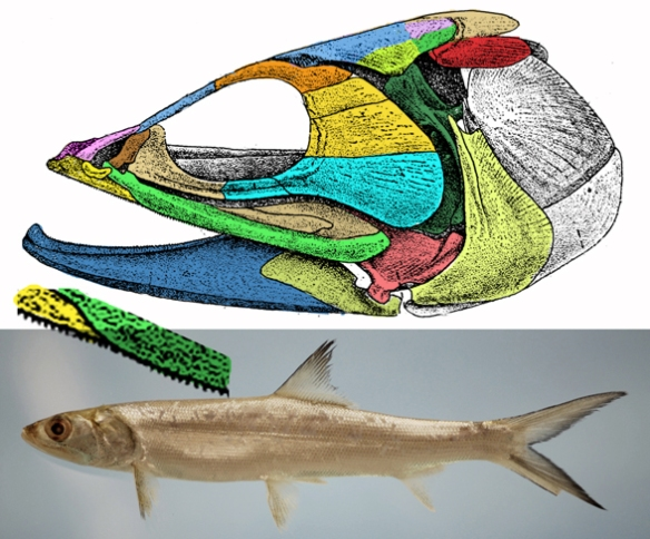 Figure 2. Elops is the extant anchovy. Compare to Bavaricthys in figure 1.