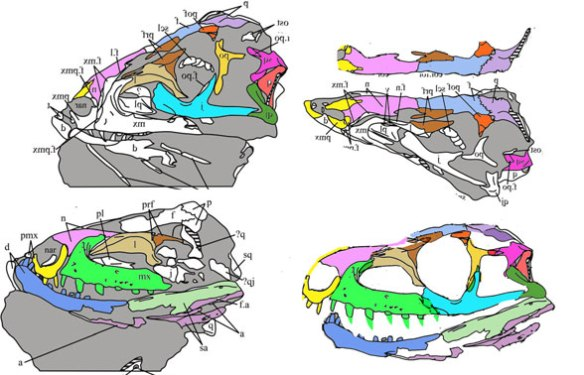 Figure 1. The SAM 4967a specimen attributed to Euparkeria. Images from Sookias et al. 2020 with colors and reconstruction added here.