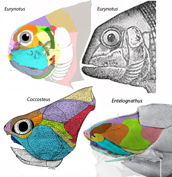 Figure 2. Eurynotus is another platysomid, basal to the placoderms Coccosteus and Entelognathus.