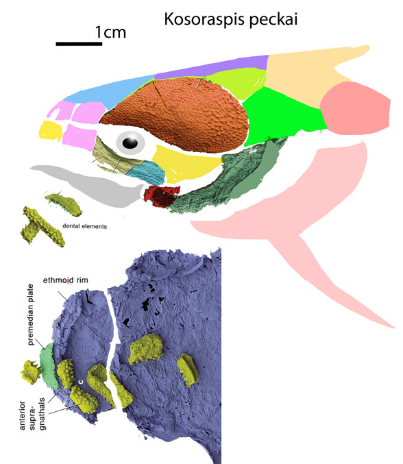 Figure 9. Kosoraspis restored as a Devonian catfish like Clarias (Fig. 10).