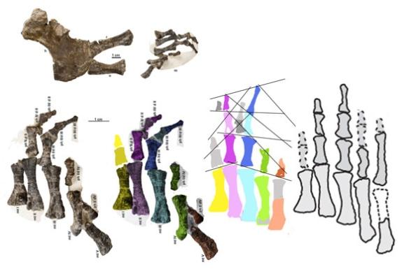 Figure 2. Metoposaurus manus with five digits from Konietko-Meier et al. 2020. Colors and PILs added here.