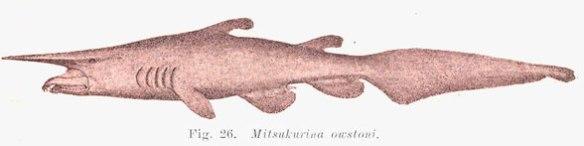 Figure 2. Classic diagram of the goblin shark, Mitsukurina.