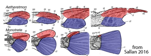 Figure 3. Fish tail ontogeny in extinct Aetheretmon and extant Monotrete. Note the upper and lower lobes.