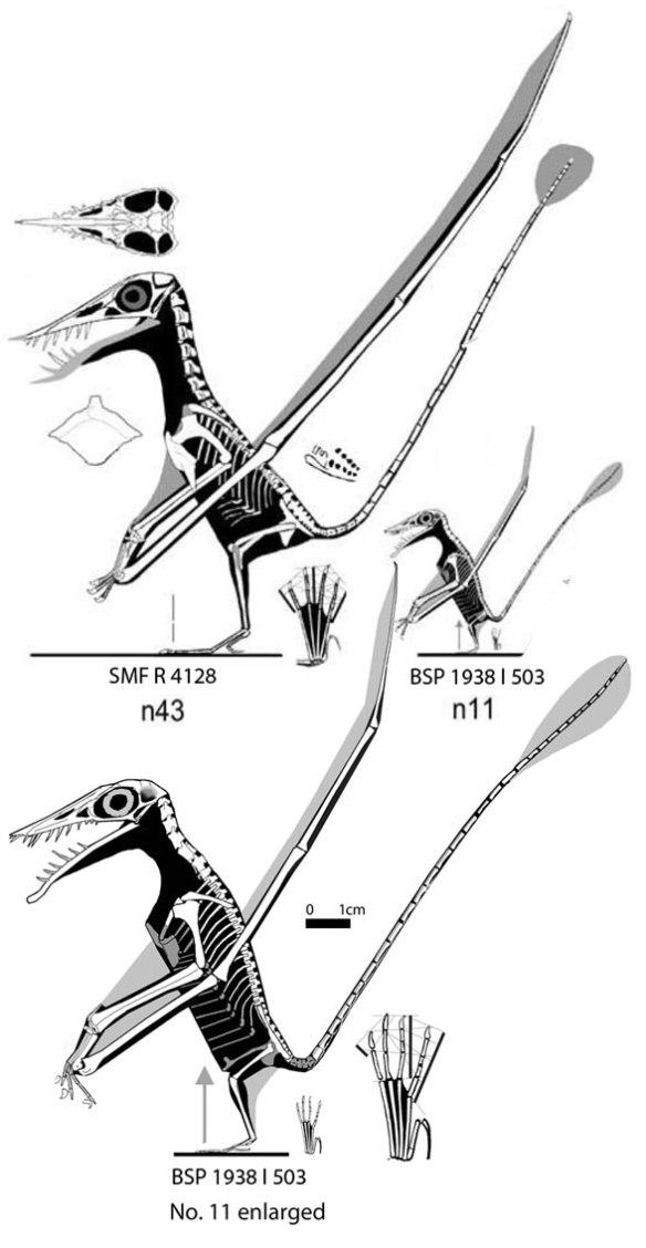 Figure 4. Lateral view of Hone et al. 2020 Rhamphorhynchus taxa taken from ReptileEvolution.com (Fig. 1).