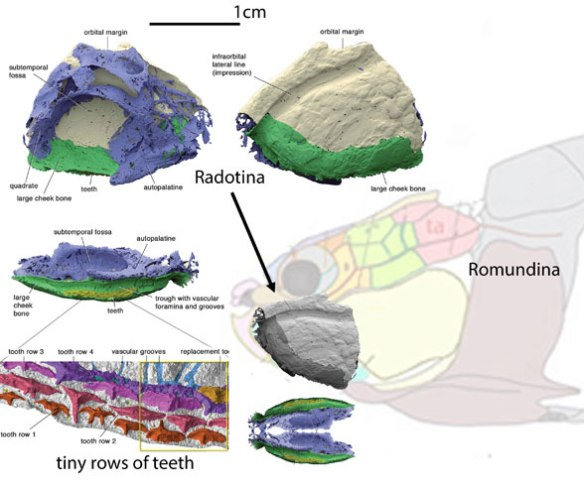 Figure 10. What little we know of Radotina and where the same bone appears on the more complete Romundina, a terminal taxon in the Placodermi.