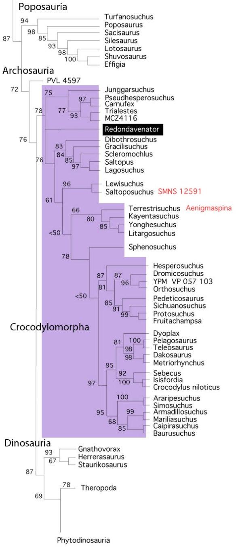 Figure 2. Subset of the LRT focusing on Crocodylomorpha. Matching Nesbitt et al. 2005, the LRT nests Redondavenator near the base of the Crocodylomorpha.