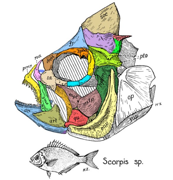Figure 2. Scorpis skull from Gregory 1938. Colors added here. No asymmetry is present on this outgroup to the flatfish.