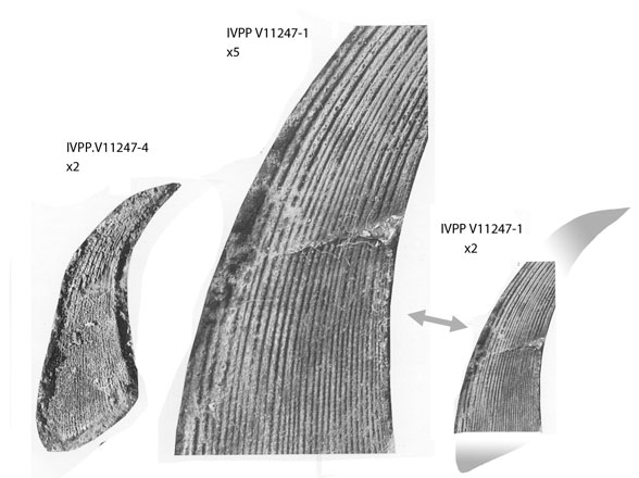 Figure 1. Sinacanthus fin spine.