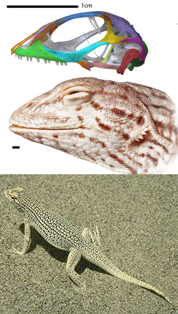 Figure 1. Skull of Uma, the fringe-toed lizard, plus face and in situ photo.