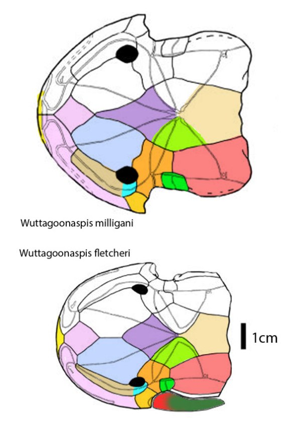 Figure 1. Wuttagoonaspis from Ritchie 1973. Colors added here.