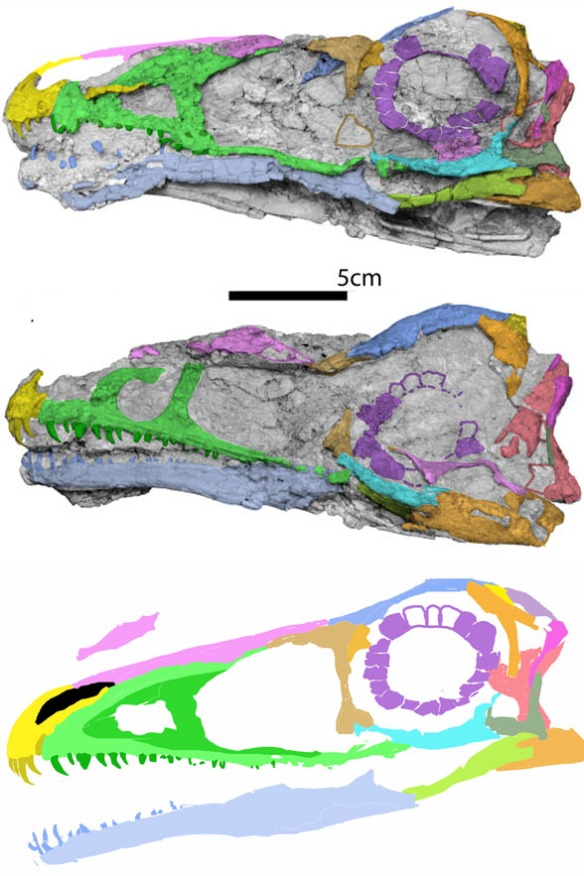 Figure 4. Aorun skull in situ and slightly restored. This is the basalmost tyrannoraptor.