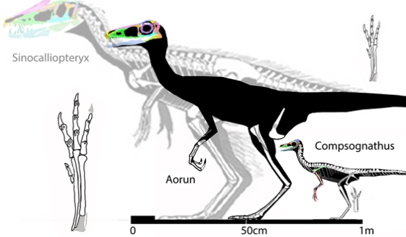 Figure 3. Aorun compared to several other theropods to scale.