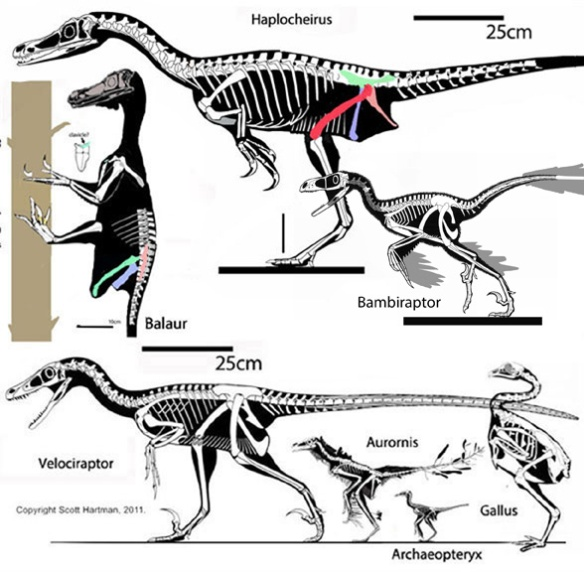Figure 2. Bambiraptor to scale compared to Velociraptor, Balaur, Hapolcheirus, Archaeopteryx and Gallus.