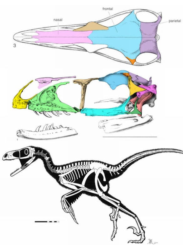 Figure 1. Bambiraptor figures from Burnham et al. 2000. Colors added.