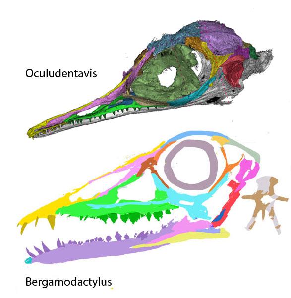 Figure 2. Skulls of Oculudentavis and Bergamodactylus compared. Not to scale.