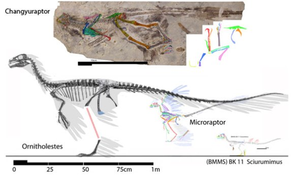 Figure 1. Changyuraptor to scale with Ornitholestes, Scriurumimus and Microraptor.
