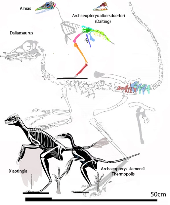 Figure 1. Daliansaurus and the origin of birds through Almas and Xiaotingia.