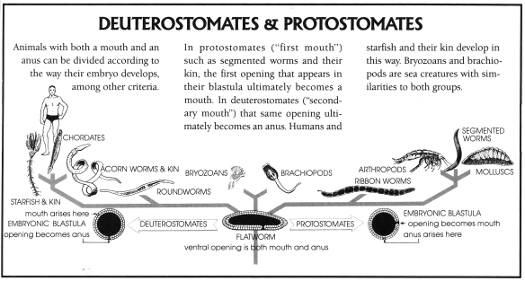 Figure 5. From Peters 1991 a diagram splitting deuterostomates from protostomates.