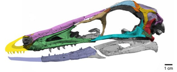 Figure 6. Gobivenator skull, colors added here.
