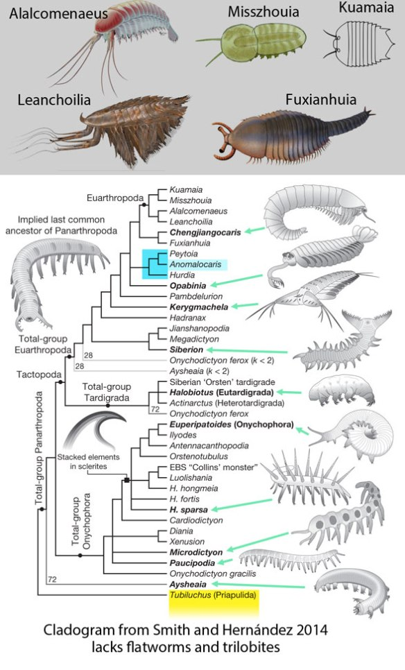 Figure 2. Illustrated cladogram from Smith and Ortega-Hernández 2014 (colors, arrows, gray taxa added here) inserts flat, swimming anomalocardids in a claodogram that otherwise features cylindrical lobe-footed crawling worms.