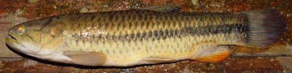 Figure 1. The araimaia, Hopolerythrinus, enters the LRT with the piranha, Serrasalmus.