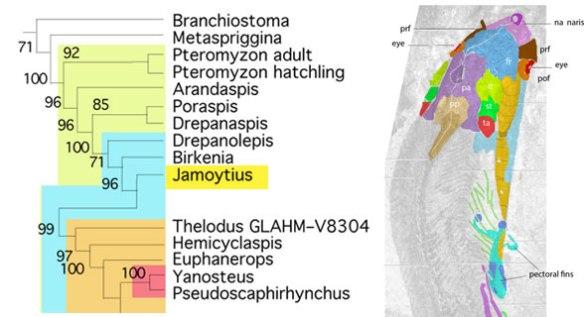Figure 2. Subset of the LRT focusing on basal chordates and Jamoytius.