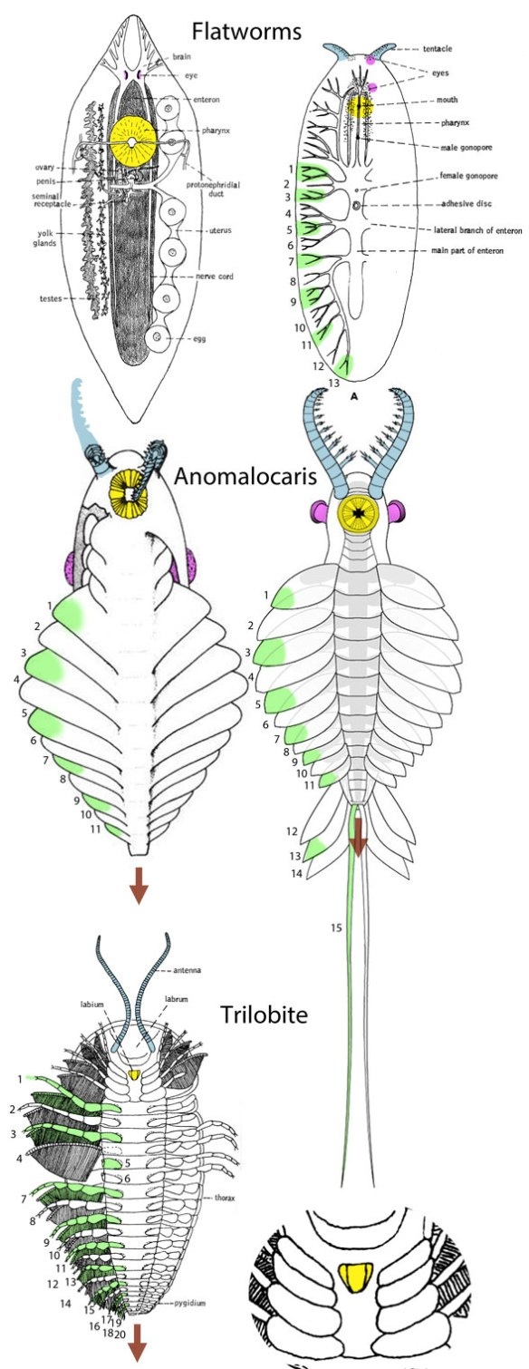 Figure 1. Possible evolution of Anomalocaris after phylogenetic bracketing between flatworms and trilobites.